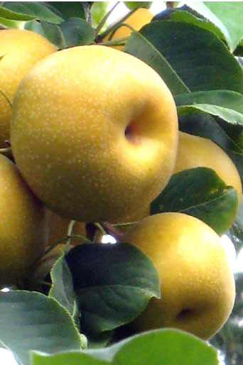 asian pear closeup