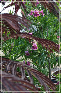 Chilopsis Linearis with Albizia 'Summer Chocolate'