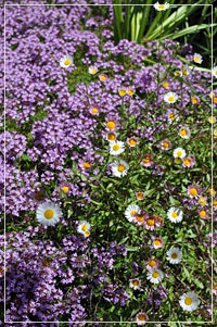 Erigeron 'Profusion' with Creeping Thyme