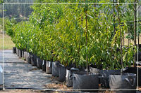 Line of fruit trees in rootmaker bags