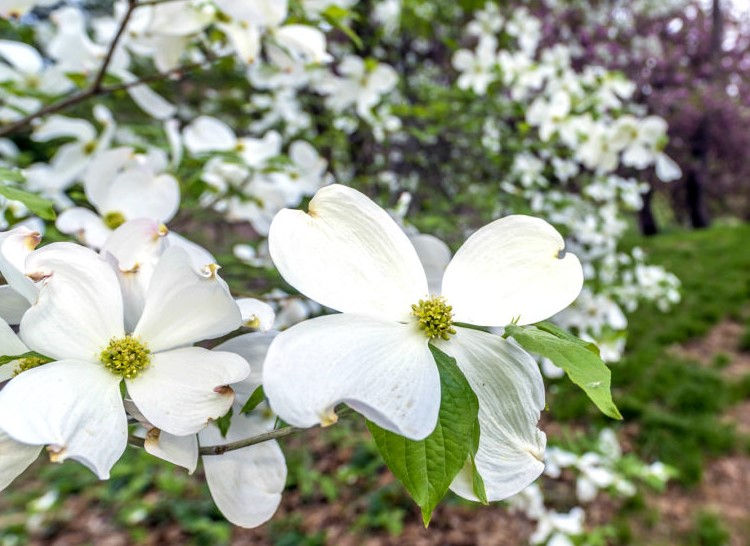 Better general dogwood crop