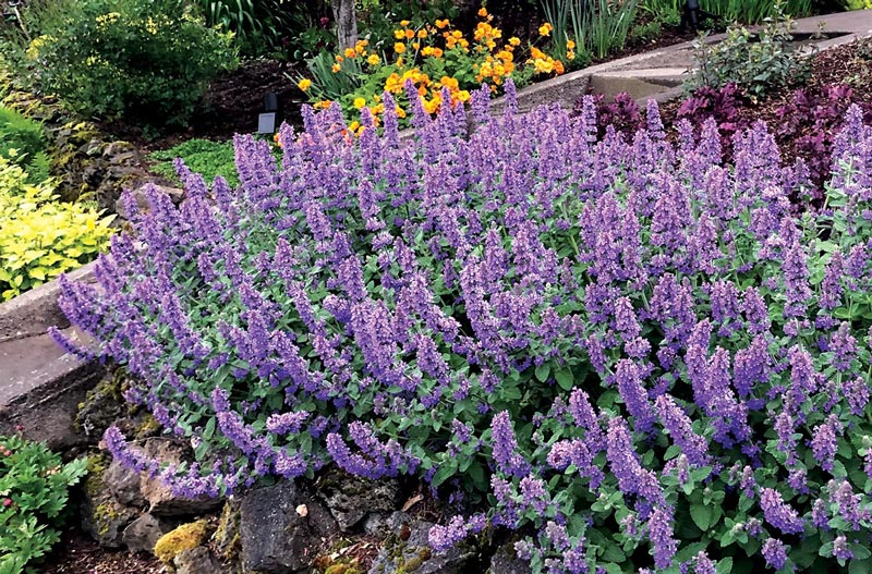 Nepeta Purple Haze crop