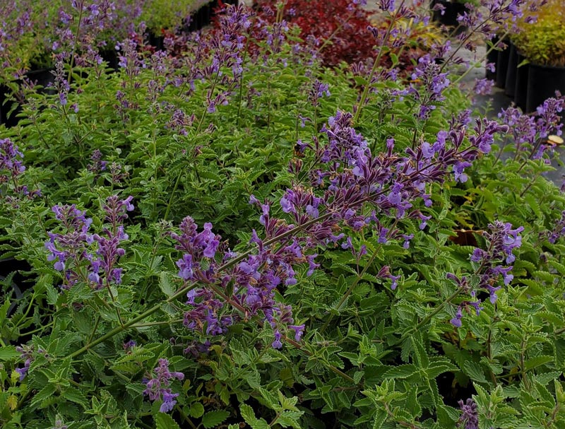 Nepeta Junior Walker crop