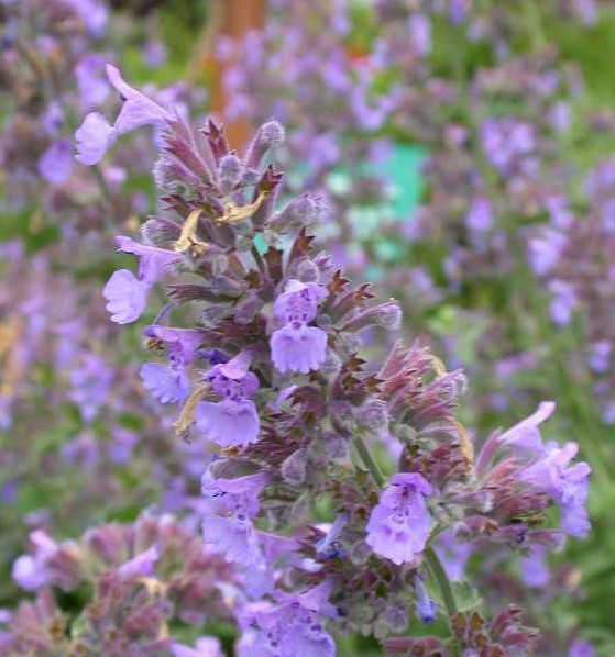 Nepeta Walkers Low crop