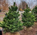 Oregon Green Pine ed