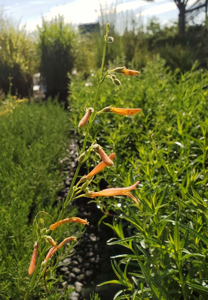 Sunset Steppe Penstemon ed