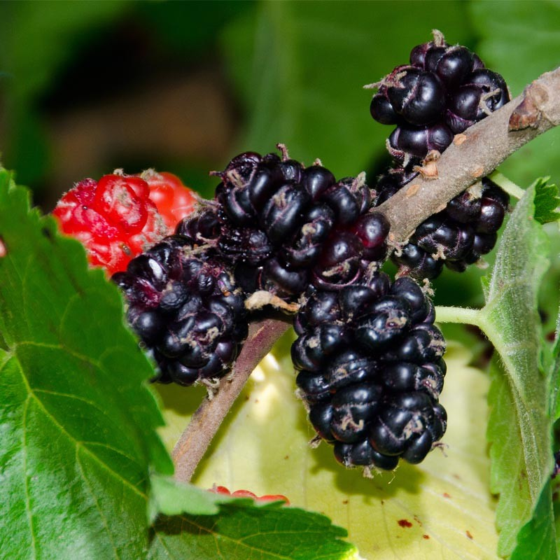 black beauty mulberry