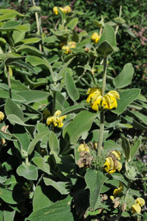 phlomis fruticosa plant of