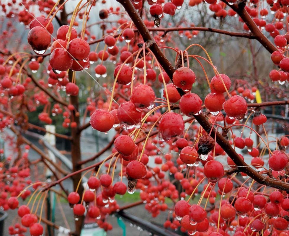 Red Jewel Crabapple crop