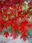 acer fall color