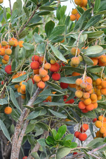 arbutus-unedo-plant-of-the-