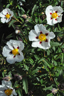 cistus_jenkyns_place-plant_of_week