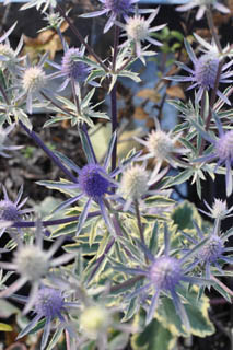 eryngium_plant_of_week