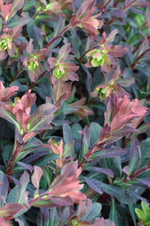 euphorbia_purpurea-_plant_of_the_week