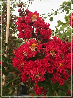 lagerstoemia dynamite crepe myrtle