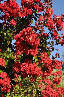 lagerstroemia_dynamite