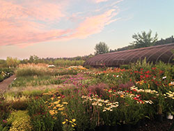 Central Point wholesale plant nursery - sunset view of flowers in bloom and hoophouse