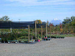 Shooting Star Nursery shade plant area with Mt. McLaughlin in distance