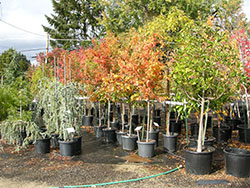 trees in pots at wholesale plant nursery