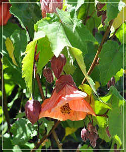 Abutilon 'Smoked Salmon'