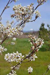 amelanchier_closeup