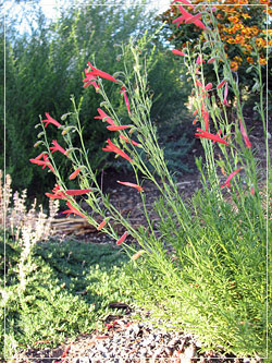 drought tolerant plants, shrubs and trees