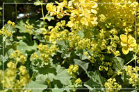 Lady's Mantle with Golden Barberry