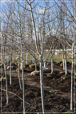 Populus Tremuloides - Large Caliper Aspen in Root Control Bags
