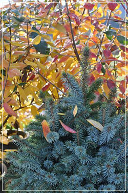 Picea sitchensis 'Papoose' and Viburnum burkwoodii