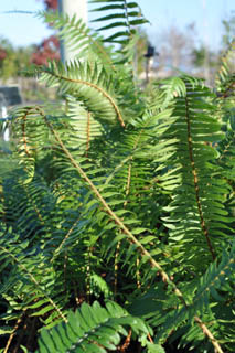 polystichum_munitum-plant_of_the_week