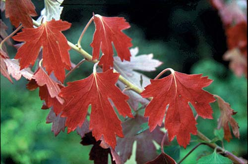 ribes crandall fall color