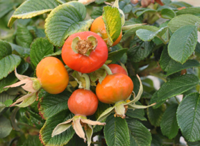 rosa_rugosa_hips-_plant_of_week