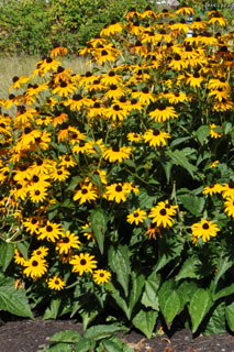 rudbeckia--plant-of-the-wee