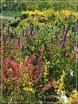 agastache, salvia, alium and other drought tolerant plants