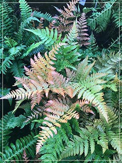 Dryopteris erythrosa - Autumn Fern