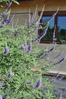 vitex-plant-of-the-week