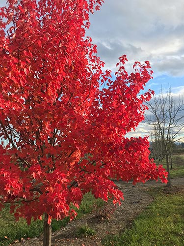 acer rubrum october glory fall colors