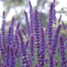 Purple Upright Sage
